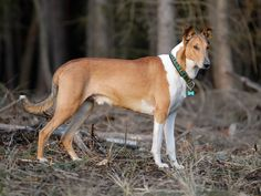 Smooth Collie dog photo | Collie Smooth dog in the forest photo and wallpaper. Beautiful Collie ...