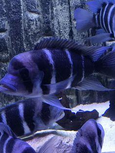 Frontosa Cichlid for Sale Online Aquarium Fish For Sale, Tropical Aquarium, Aquarium Fish Tank, Tropical Fish, Cichlid Fish, Florida Fish, Lake Tanganyika, Fish Breeding, Fish Stock