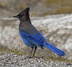 DICK BIRD STELLAR JAY