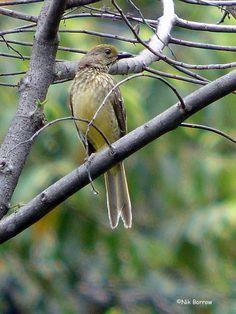 Yellow-breasted Bowerbird or Lauterbach's Bowerbird