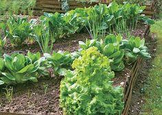 Dans ce carré, les légumes sont organisés en diagonales, une présentation esthétique et tout aussi diversifiée. - F. Boucourt - Rustica - Jardin de l'Escalier