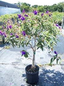 Tibouchina urvilleana growing in pot Outdoor Plants, Indoor Outdoor, Conservatory Plants, Princess Flower, West Palm Beach, Trees And Shrubs, Plant Care, Backyard Landscaping, Landscape Design