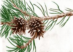 Pine cones on tree branch stock illustration. Illustration of artwork - 16968321 Line Drawing, Drawing Sketches, Pencil Drawings, Painting & Drawing, Art Drawings, Painting Trees, China Painting, Sketching, Pine Cone Art