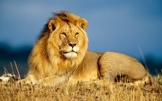 Raffle Offers Winner Chance to Hunt Down Lion Grasswire | Your ...