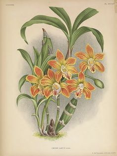 Chysis a Labelle Glabre. Lindenia- iconography of orchids vol. James Jeans, Nature Illustration, Botanical Illustration, Flower Illustrations, Botanical Drawings, Botanical Prints, Orchid Tree, Orchid Flowers, Orchid Images