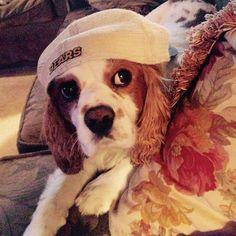 This Cavalier King Charles Spaniel puppy has that Baylor spirit! #SicEm