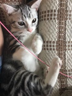 fluffytherapy:  my uncles kitten!!Thanks for...