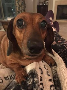 Strudel the Nosey Noodle (via Dachshund Rescue South