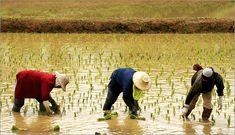 Rice Farmer Women rice farmers cropping rice on field ,
