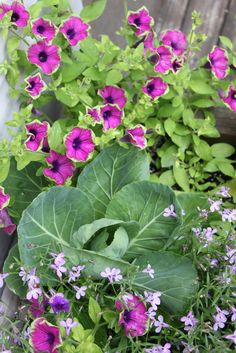 A stuffed planter with baby cabbage and Supertunia Pretty Much Picasso from a few years ago..