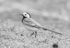 Naturally, Motacilla alba (just its colors) - bird as it looks like, just removed the green of the surroundings and warm light on white leathers White Feathers, Birds, Warm, Black And White, Green, Nature, Animals, Collection, Colors