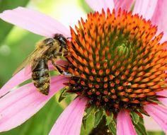 ABEJA EN EQUINACEA PÚRPURA - BEE ON PURPLE CONE FLOWER.
