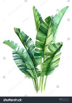 watercolor illustrations tropical palm leaves, isolated on white background Royalty free image illustration Banana Plant Indoor, Banana Plants, Tropical Leaves, Tropical Plants, Plant Tattoo, Landscape Sketch, Digital Art Tutorial, Plant Art, Watercolor Illustration