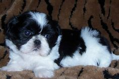 black and white shih tzu puppies for sale   Zoe Fans Blog