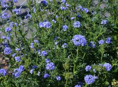 Botanical name: Gilia capitata Common names: Globe gilia, blue thimble flower, blueheads Origin: Native throughout California north to British Columbia and Idaho; part of the California Floristic Province  Natural habitat: Slopes in many plant communities Where it will grow: Hardy to 0 degrees Fahrenheit