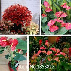 Sale!200 pcs/bag Anthurium Seeds Bonsai balcony Flower Seeds