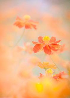 Photo orange cosmos field by Miyako Koumura on Cosmos Flowers, Flowers Nature, Orange Flowers, Wild Flowers, Beautiful Flowers, Beautiful Pictures, Fotografia Macro, Photo D Art, Flower Phone Wallpaper