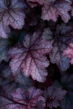 """- Heuchera micrantha """"Purple Palace"""" – Coral bells : evergreen, clump-forming herbaceous perennials. It requires a position in full sun or partial shade in moist but well-drained soil"""