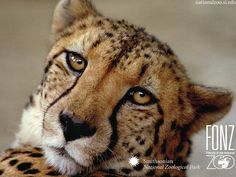 Full frown Cheetah. A cheetah can attain speeds up to 76 miles per hour but can only sustain them for over a distance of approximately 1,500 feet. Cheetahs can accelerate at an amazing rate, going from a standstill position to as fast as 68 mph in less than three seconds.