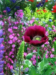 "Papaver 'Lauren's Grape', $5.95 at Annie's Annuals and Perrennials. ""Big, 4"" to 5"", single poppy flowers are the most delicioso shade of rich, ruby purple. This outstanding, highly recommended poppy grows 3' to 5' tall, depending on how rich your soil is. Big, lettuce-like, blue-gray leaves. 'Lauren's Grape' was the prettiest thing in my garden last Spring. Reseeds!"""