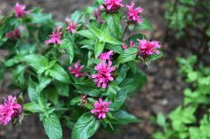 Bee balm (Monarda didyma) sends up dense clusters of scarlet flowers in midsummer, and it often remains in bloom for a month or longer. The flowers attract butterflies, bees and. Bee Balm Flower, Bee Balm Plant, Low Growing Shrubs, Shade Landscaping, Small Shrubs, Garden Maintenance, Outdoor Plants, Deadheading, Plant Care