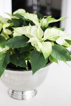 White Poinsettia in silver bowl