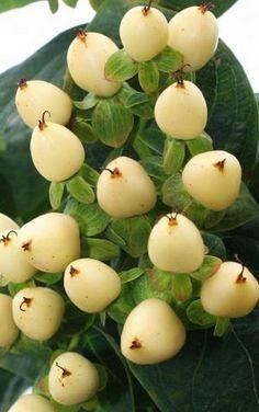 Hypericum Berries: all year $