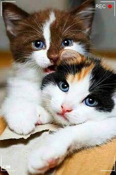 Super Cute Animals, Cute Little Animals, Cute Funny Animals, Cutest Animals, Cute Baby Cats, Cute Cats And Kittens, Kittens Cutest, Super Cute Kittens, Ragdoll Kittens