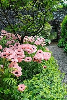 Pink poppies in an overgrown garden with stone wall and slatted gate. A secret garden Beautiful Flowers, Beautiful Gardens, Flower Garden, Flowers, Pink Poppies, Cottage Garden, Perennials, Plants, Planting Flowers