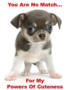 #Chihuahua #puppy that knows it's cute!...  Find even more cute pinable #pups by clicking on this pic
