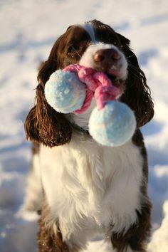 Wanna Play? Springer Spaniel