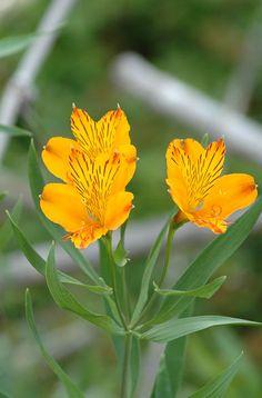 Amancay, típica flor de la patagonia - San Martín de Los Andes.
