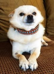 World's greatest haircut....Sonny is an adoptable Pomeranian Dog in Studio City, CA. Contact ThePoopieFoundation@gmail.com or call 818 988 7940 8lbs of Sunshine, Sonny is a great guy. About 3 years old. He is a snuggler and love...