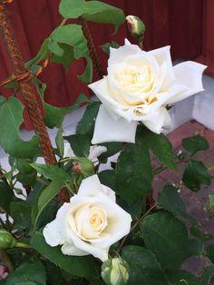 Austin roses Ilse Krohn. Jennysvitavillervalla.blogspot.se