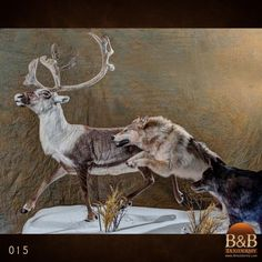 Taxidermy by B&B Taxidermy provides fine taxidermy for Trophy Game Rooms, African, North American and Exotic Mounts located in North Houston Texas The Woodlands Texas, Conroe Texas, Fallow Deer, Animal Games, Taxidermy, Elk, Photo Galleries, Exotic, Moose Art