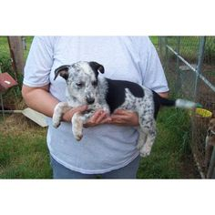omg i have to have her  ACD/Border Collie female. A cute female Australian Cattle Dog/Blue Heeler puppy for sale in McAlester, OK