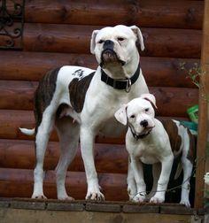 american bulldog - Bing Images