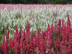Zooo gaaf! Confetti van bloemen, mooi en natuurlijk, en de velden zijn echt prachtig... - The Real Flower Petal Confetti Co's Delphinium Flower Fields at Wick, Worcestershire 2013