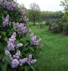'Nadezhda' lilacs. One of my favorites, might grow on back fence east corner, 2 or 3, left of viburnum, but you would lose some of your grass area.