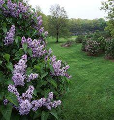 Cost-free Flower Arranging Tips 'Nadezhda' lilacs