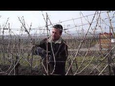 Jak správně stříhat vinohrad? rychlý NÁVOD - YouTube