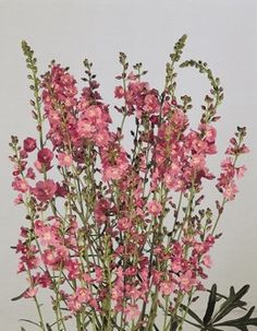 Sidalcea, also known as Mallow.  perennial. I like how delicate they look and yet they are hardy to z5