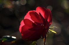 Rose - Gülün Kalbi
