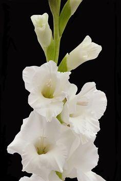 Gladiolus 'Silver Queen'