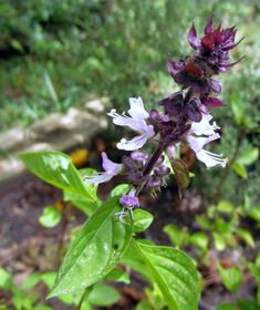 Cinnamon Basil - 12 Mosquito Repelling Plants