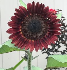 """One of my last sunflowers to open up, such a nice shade of red!  #sunflower #dropdeadred #garden #botanicalinterests"" - chiquitatarita (Instagram)"