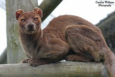 Fossa Top 10 Strange Animals You Probably Didn't Know ExistYou can find Strange animals and more on our website.Fossa Top 10 Strange Animals You Probably Didn't Know Exist Unusual Animals, Rare Animals, Jungle Animals, Animals Beautiful, Funny Animals, Strange Animals, Animals Sea, Fossa Animal, Especie Animal