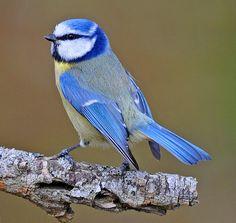 Blue Tit, via Flickr.