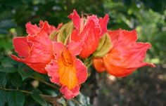 African Tulip Tree blossoms