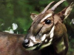 *CRITICALLY ENDANGERED*    The Saola, Vu Quang ox or Asian biocorn, also, infrequently, Vu Quang bovid (Pseudoryx nghetinhensis), is one of the world's rarest mammals, a forest-dwelling bovine found only in the Annamite Range of Vietnam and Laos. C. E.